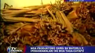 cuyapo nueva ecija featured on abs cbn s tv patrol 1st water lily festival