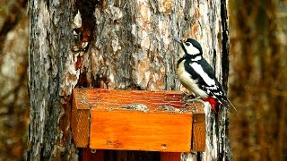 Nagy fakop ncs hark lyetet n / Great Spotted Woodpecker at woodpecker feeder, Budapest (2015.02.26.)
