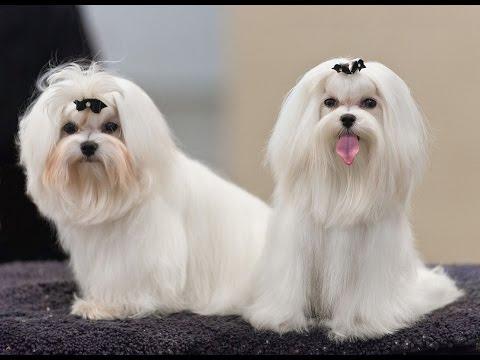 maltese-dog-potty-training-tips---free-mini-course
