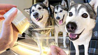 Фото Смешной СКОТЧ Пранк над Хаски / Реакция собак на прикол со скотчем