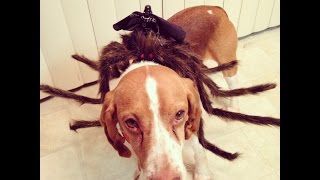 Easy Spider Dog Costume for Howl-een!