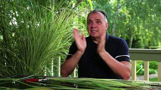 видео Декоративные травы
