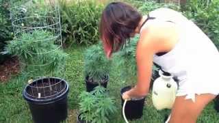 Grow organic ganja - How to control pests fungus & mildew organically