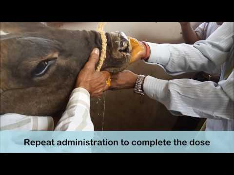Ethnoveterinary treatment for FMD oral lesions