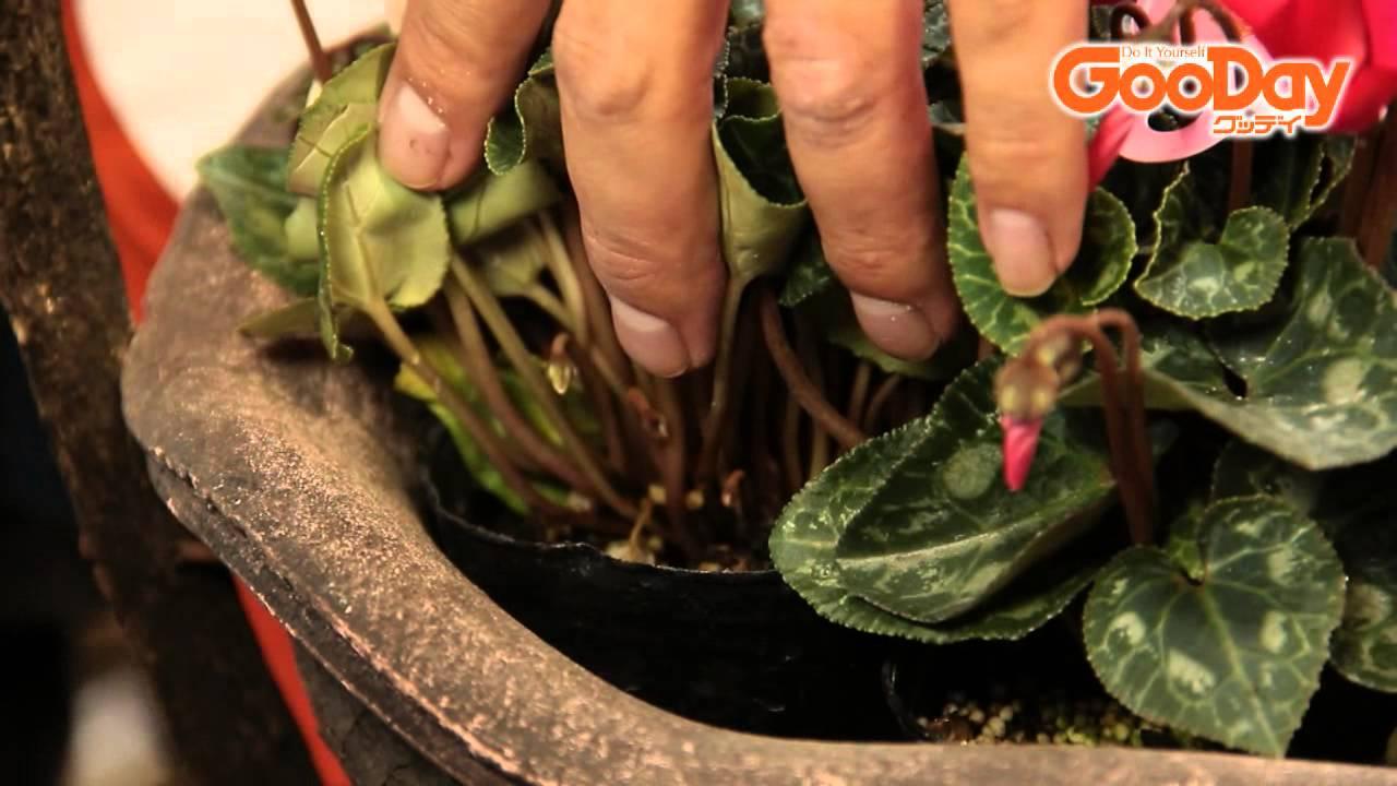 の 方 シクラメン 育て シクラメンの植え替えまとめ!時期や方法、土と鉢替えの注意点は?