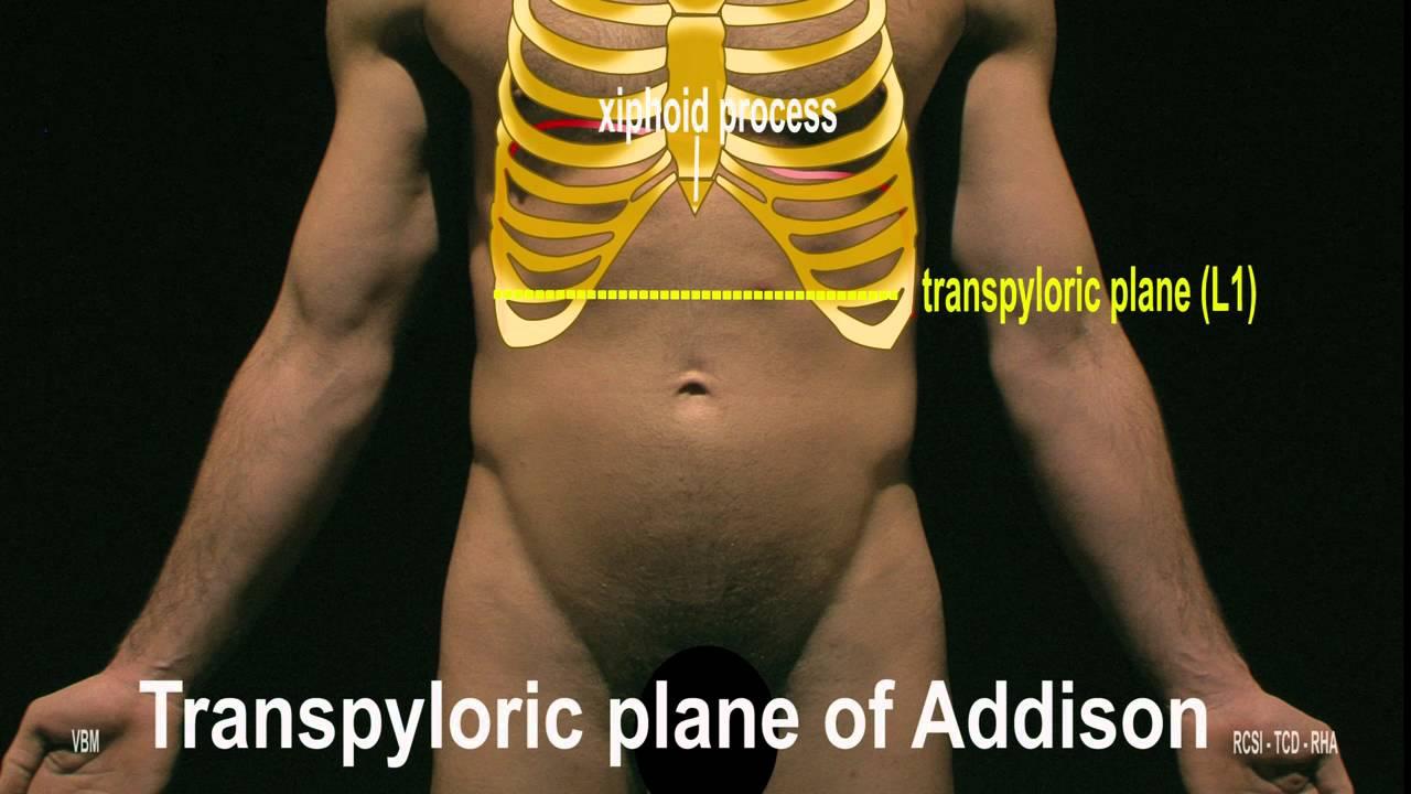 Surface Anatomy - Anterior Abdominal Wall (2D) - YouTube