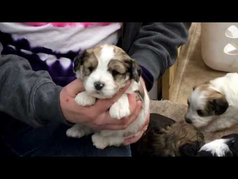 Chloe's schnoodle puppies 12-22-16