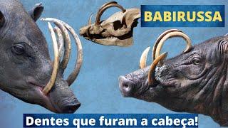 UM ANIMAL COM DENTES QUE CRESCEM SEM PARAR ATÉ PERFURAR O SEU PRÓPRIO CRÂNIO!!!