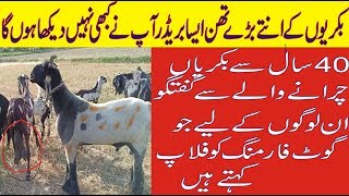 37 | Practical Goat Farming in Pakistan ||بڑے ہوانے والی بکریاں|| Biggest Breeder you have ever seen