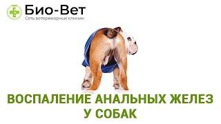 Воспаление анальных желез у собак. Ветеринарная клиника Био-Вет.