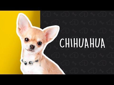 +Fatos sobre o CHIHUAHUA 🐶 #somosdogueiros