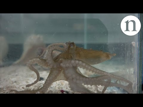 Octopi are aliens that live on Earth
