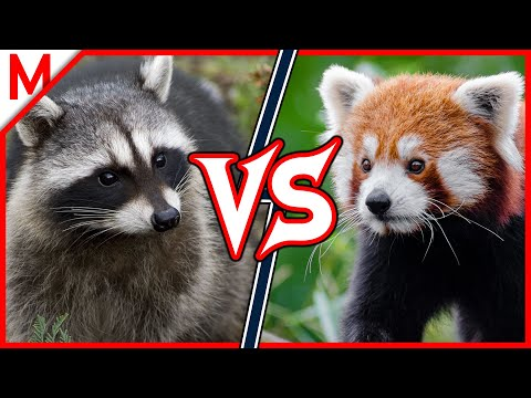 Raccoon Vs Red Panda | ANIMAL BATTLE (+ Dog Vs Cat Winner)