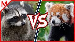 Raccoon vs Red Panda | ANIMAL BATTLE (+ Dog vs Cat winner)