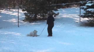 Blizzard (samoyed) Dog Training Obedience Video Minnesota