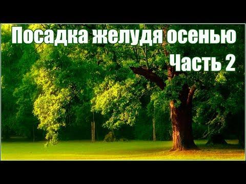 Как вырастить дуб из желудя осенью часть 2