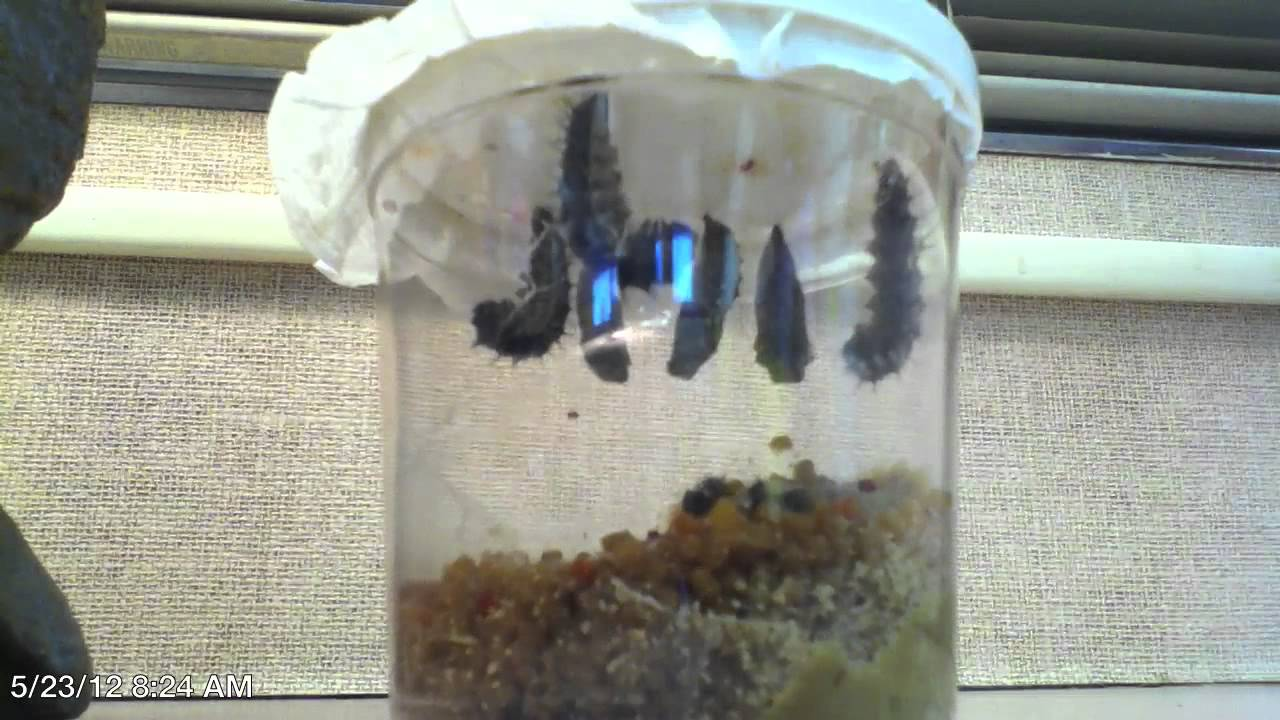 Time Lapse  The Life Cycle of the Painted Lady Butterfly  YouTube
