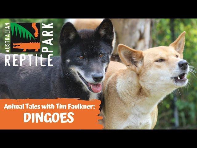 ANIMAL TALES WITH TIM FAULKNER | EPISODE 18 | DINGOES