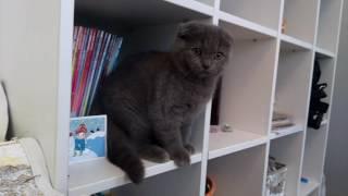 шотландские котята. Кошечка Катрина SFSa