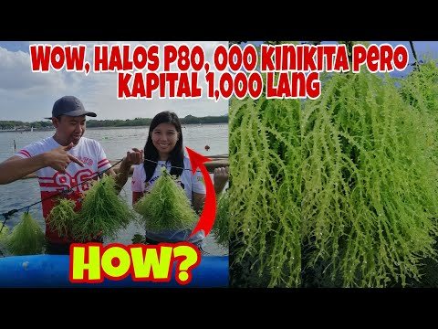 Paano Mag-Alaga ng SEAWEEDS, At kumita ng  Halos P80,000- Panoorin
