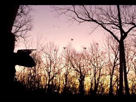 Hundreds of mallards!! / Timber Duck Hunting 2016