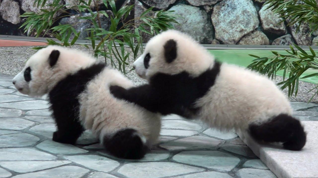 赤ちゃんパンダが仲良しでかわいい