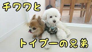 ミニチュアダックス こまるちゃん MIX犬 ザックくん 柴犬 こまめくん チ...