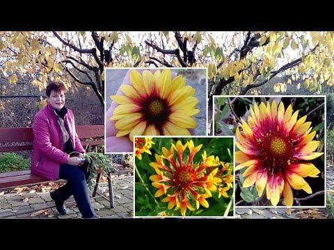 Цветы цветущие все лето и осень Гайлардия