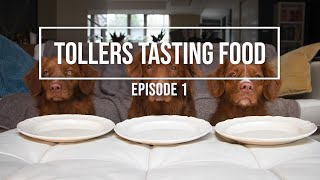 DOGS REACTING TO DIFFERENT TYPES OF FOOD  Tollers Tasting Food 1