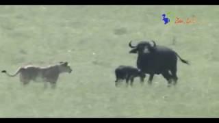 ハイエナが狙っていた獲物をライオンたちが奪おうとしている 母親バッフ...