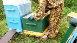 Пчеловодство для начинающих видео.  http://ylei.ucoz.com/(Пересаживание пчелопакета в улей. Пчеловодство для начинающих. Купить ульи в Москве 8-925-500-71-98, СПб 8(812) 984-47-29...., 2012-07-25T16:39:09.000Z)