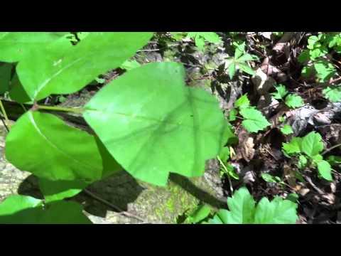 Cuidado Con Esa Planta En Carolina Del Norte Bejuco Venenoso Poison Ivy