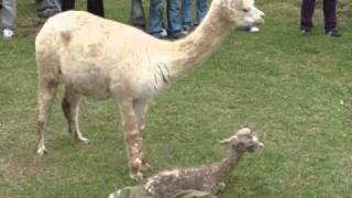Nacimiento de Alpacas en la URP