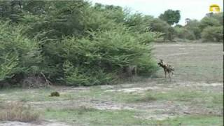 Wilddog protects Jackal puppies, Chiefs Island, Botswana - © Abendsonne Afrika thumbnail