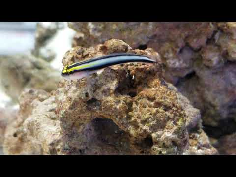 Sharknose Goby At Pacific East Aquaculture