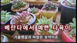 # 베란다에서  # 예쁜 다육이 # 목초액효과 #매일달…