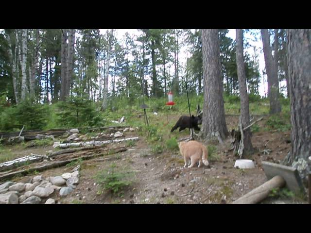 Cat chases bear