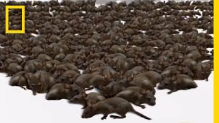 Rat Attack! | National Geographic