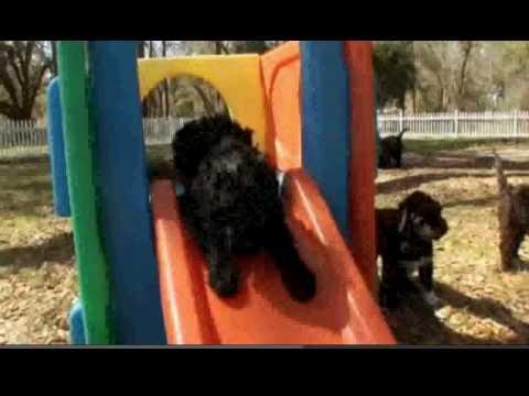 Portuguese Water Dog.avi