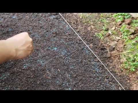 Cara Menanam Benih Rumput Langsung Di Tanah Di Jamin Hidup ...
