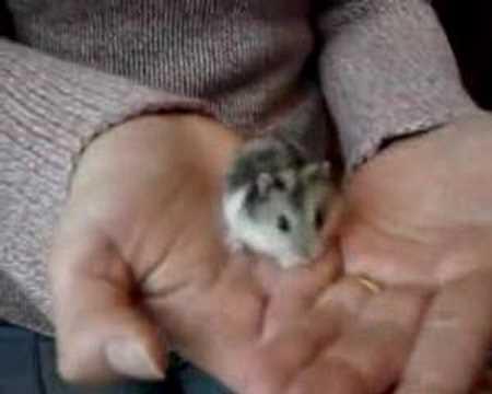 sex of a dwarf hamster
