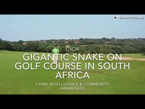 Huge African Rock Python snake spotted on Zimbali golf course in Ballito KZN South Africa