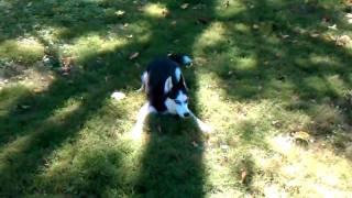 Siberian Husky Playing