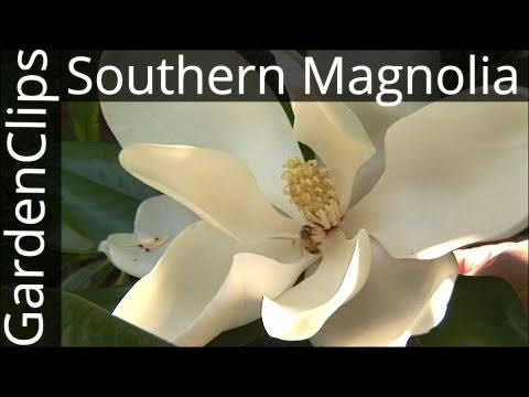Evergreen Southern Magnolia Magnolia Grandiflora How To Grow