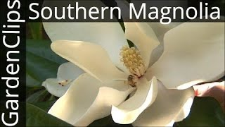 Evergreen Southern Magnolia - Magnolia Grandiflora - How to grow Bull Bay Magnolia