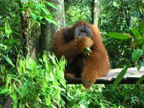 Adult male Sumatran Orangutan at feeding station at Bohorok Rehabilitation Station, North Sumatra