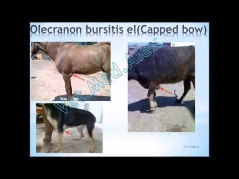 Bursa & Bursitis in animals