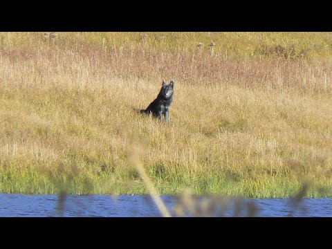 Wolf at Grebe Lake, Yellowstone National Park