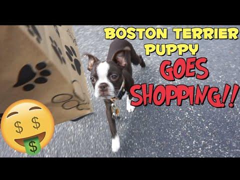 Taking my Boston Terrier Puppy SHOPPING   Dawg Vlog
