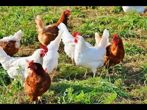 دجاج معدل جينيا لمنع ظهور وباء إنفلونزا  - نشر قبل 3 ساعة
